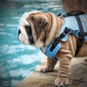 life vest for bulldogs barkley s dog blog