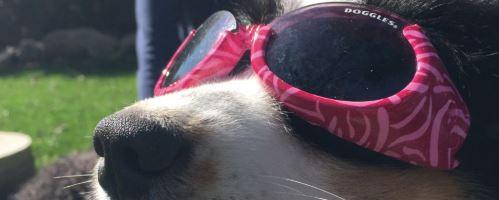 Dog Eye Protection Is A Good Idea